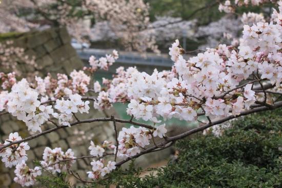 桜通信 from福井_f0229508_184786.jpg