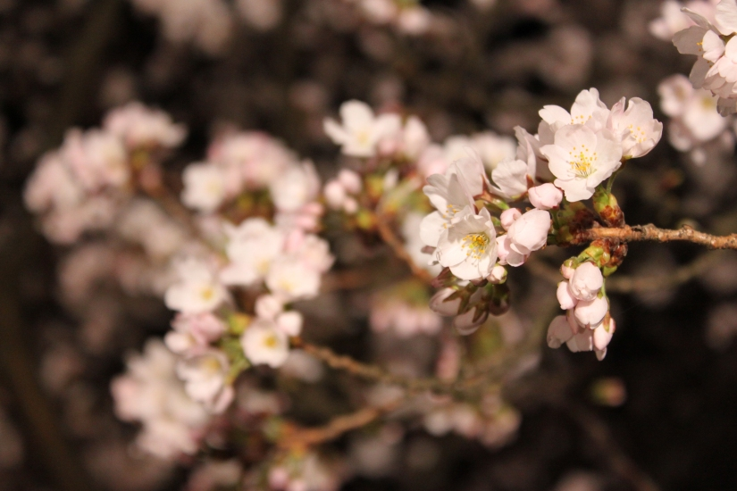 桜通信#02「夜桜」 from福井_f0229508_19303133.jpg