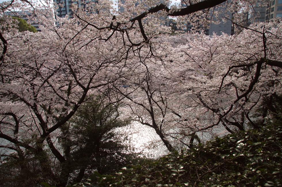 桜花爛漫_b0190710_22322829.jpg