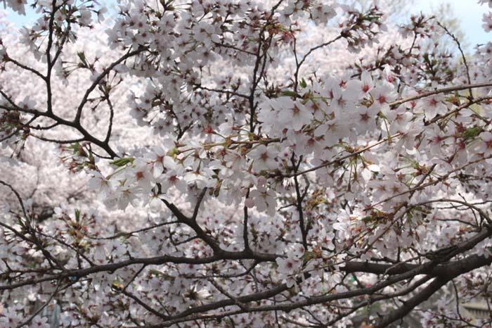 桜満開、じっちゃんさまの春_e0023517_15371039.jpg