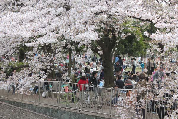 桜満開、じっちゃんさまの春_e0023517_15383745.jpg