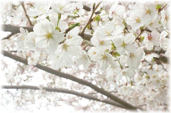桜散歩。_c0080132_17512655.jpg