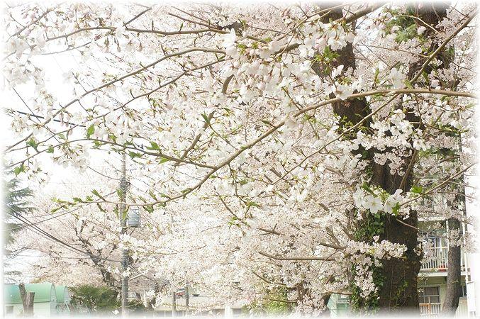桜散歩。_c0080132_17514439.jpg
