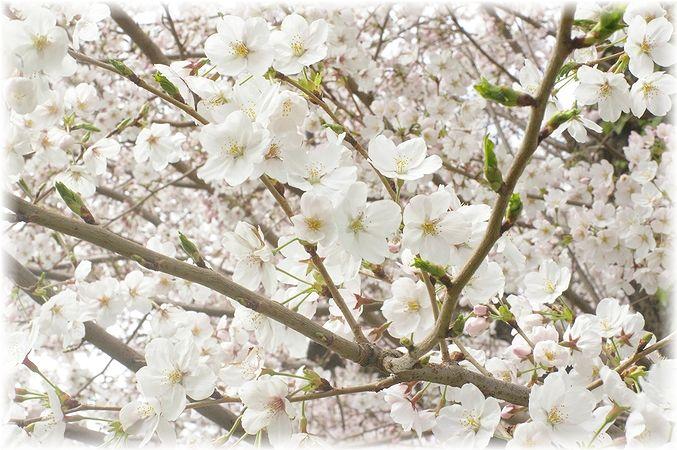 桜散歩。_c0080132_1751555.jpg