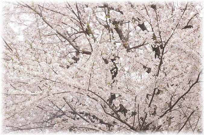 桜散歩。_c0080132_1752311.jpg
