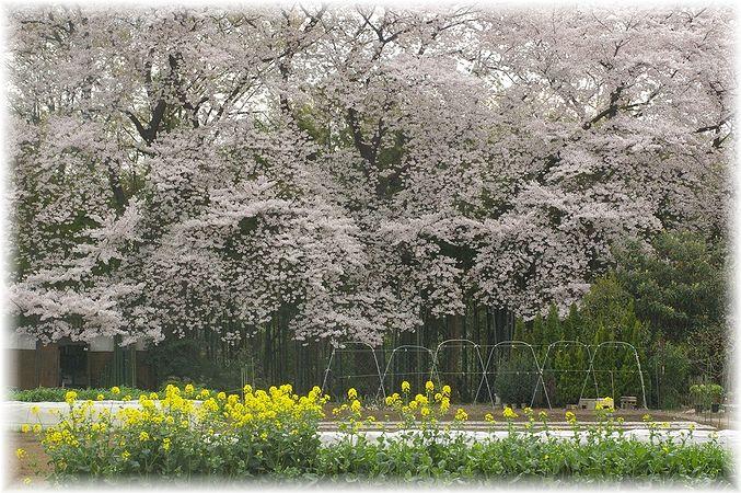 桜散歩。_c0080132_1753564.jpg
