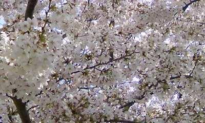 桜。_b0047333_1759066.jpg