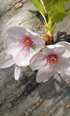 桜。_b0047333_1804086.jpg