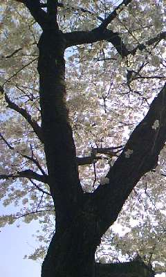 桜。_b0047333_1823141.jpg