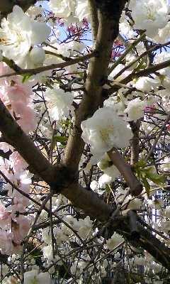 桜。_b0047333_1832699.jpg