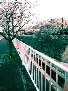 妙法寺川のお花見~そして選挙へ #464_e0068533_1863056.jpg
