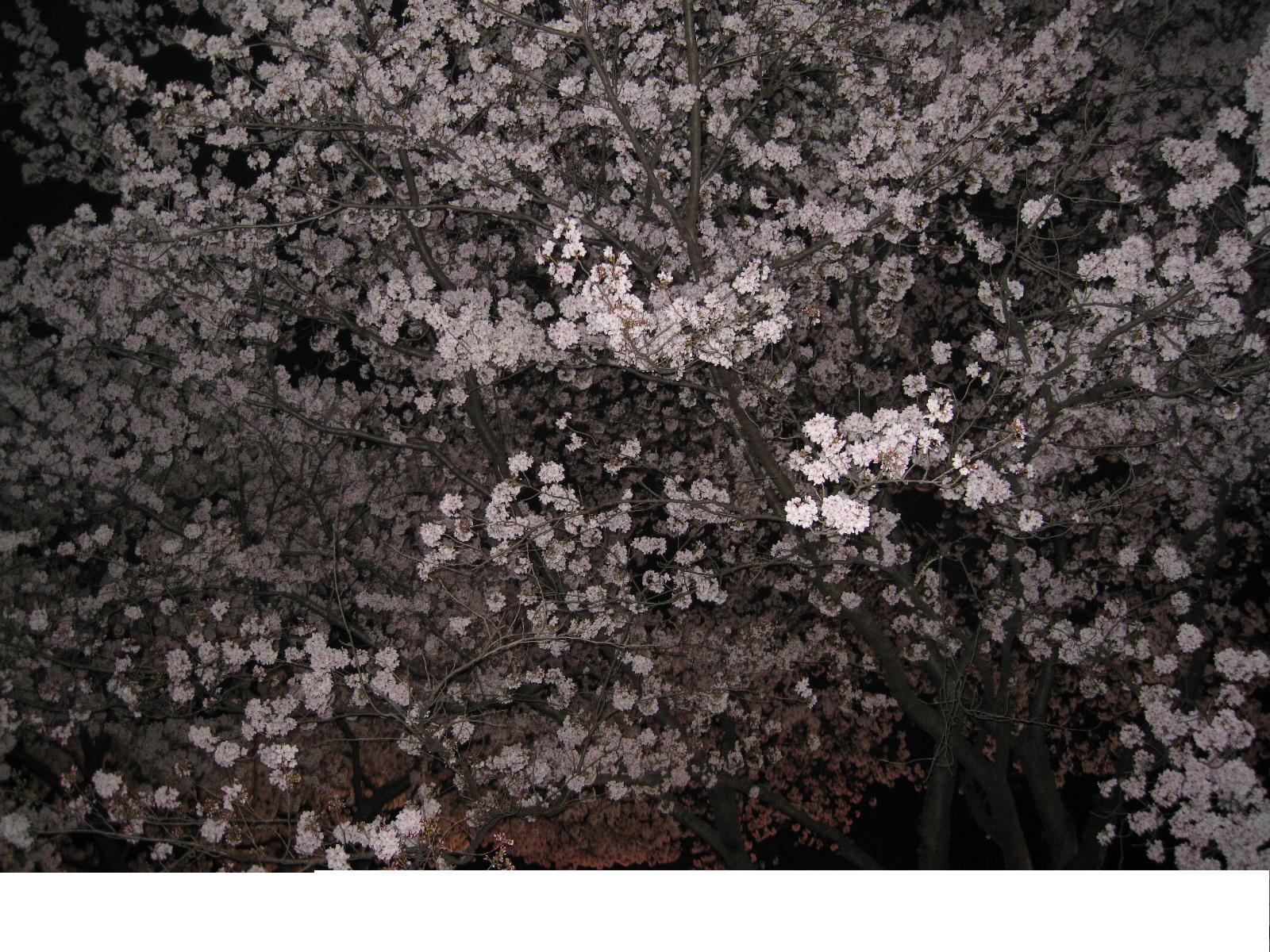 桜_e0187233_16214233.jpg