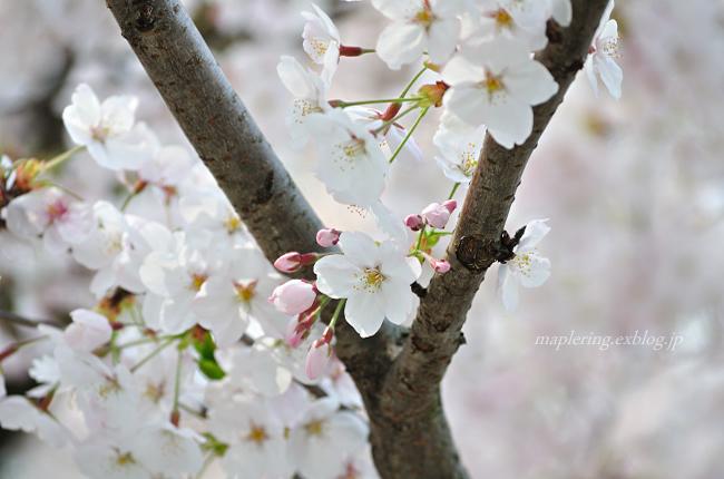 今年の桜①_f0234062_1740318.jpg