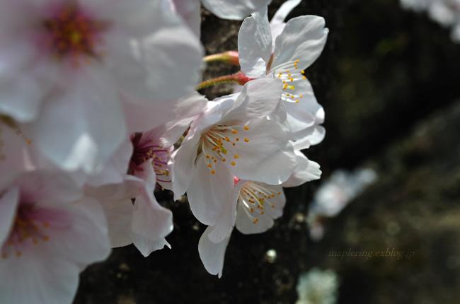 今年の桜①_f0234062_17405946.jpg