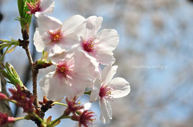 今年の桜①_f0234062_17414848.jpg