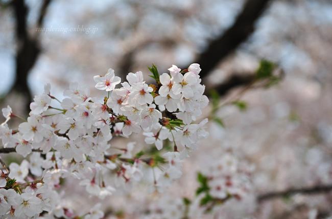 今年の桜①_f0234062_17421346.jpg