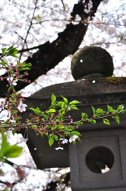 今年の桜①_f0234062_17434994.jpg
