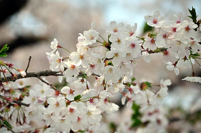 今年の桜①_f0234062_1744289.jpg