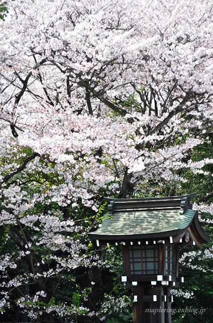 今年の桜①_f0234062_17451785.jpg