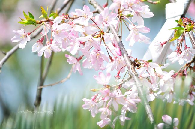 今年の桜①_f0234062_1745647.jpg