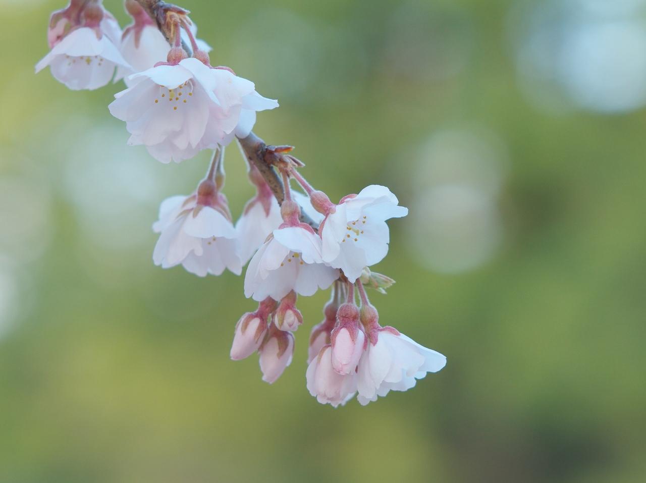 伏姫桜2011 その2_f0018464_2023147.jpg