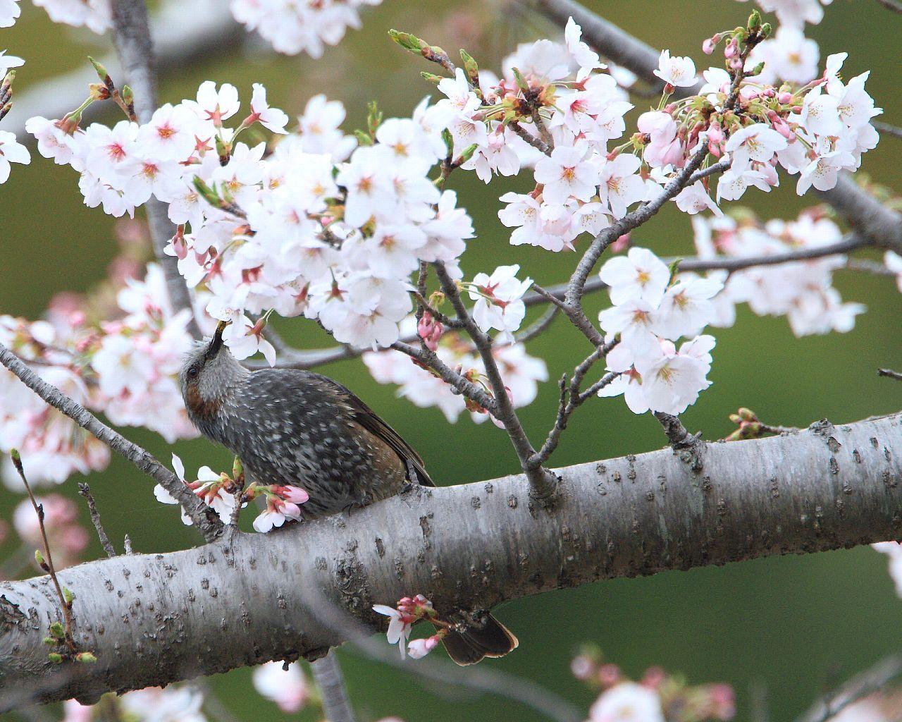 桜満開_f0105570_22502273.jpg