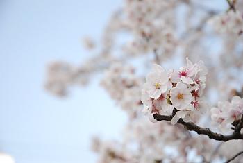 桜&サクラ_d0126473_22362980.jpg