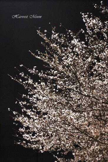 桜雪_b0208495_12591.jpg