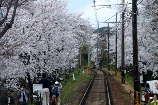 京の花だより 嵐電 桜のトンネル_e0048413_20264420.jpg