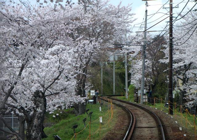 京の花だより 嵐電 桜のトンネル_e0048413_20273714.jpg