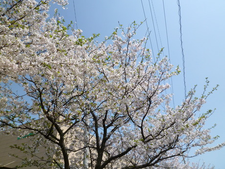潮江浦田川親水公園の桜_e0228813_946889.jpg