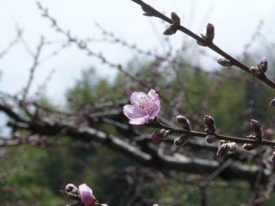 新府の桃0.5分咲、わに塚・神代桜最高♪_f0019247_0145844.jpg