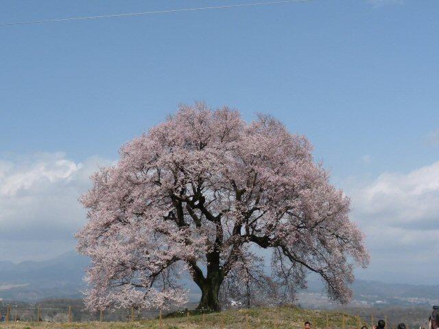新府の桃0.5分咲、わに塚・神代桜最高♪_f0019247_0181752.jpg