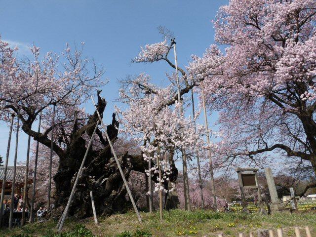 新府の桃0.5分咲、わに塚・神代桜最高♪_f0019247_0184088.jpg
