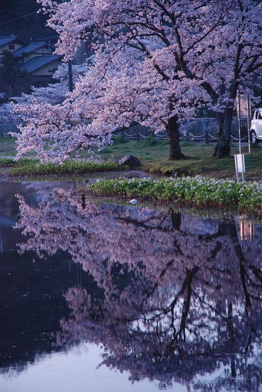 京都の桜が見ごろです。_d0176048_11304045.jpg