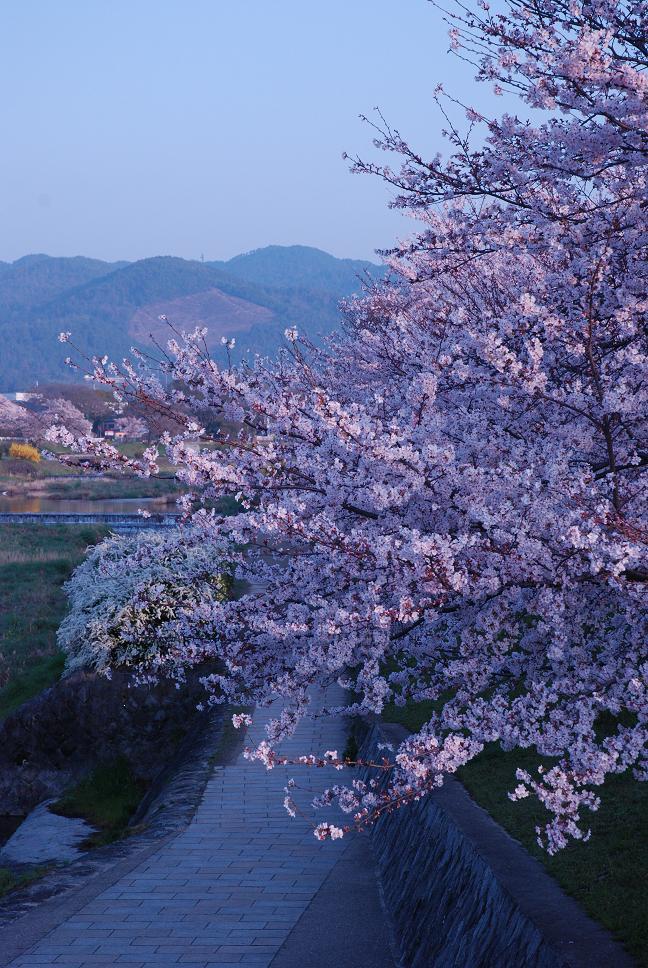 京都の桜が見ごろです。_d0176048_113178.jpg