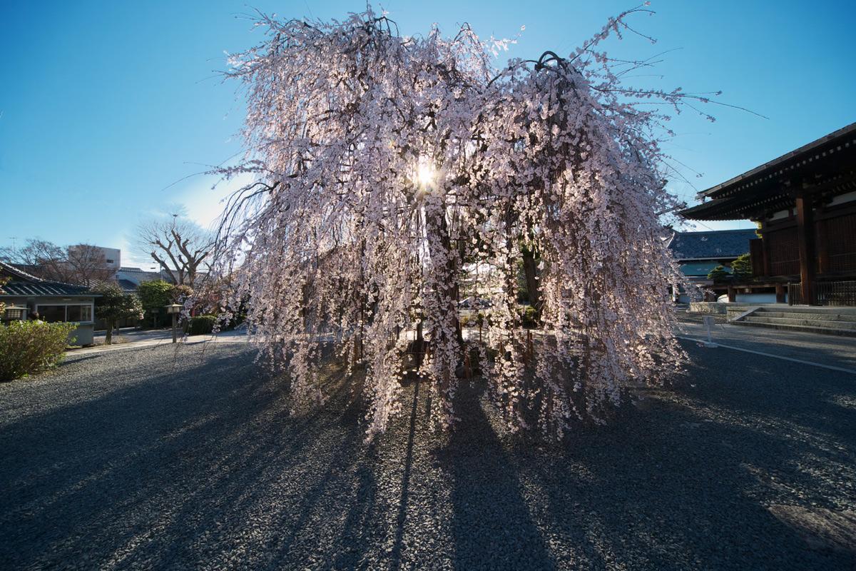 桜 2011 京都 <千本釈迦堂>_f0021869_2219827.jpg