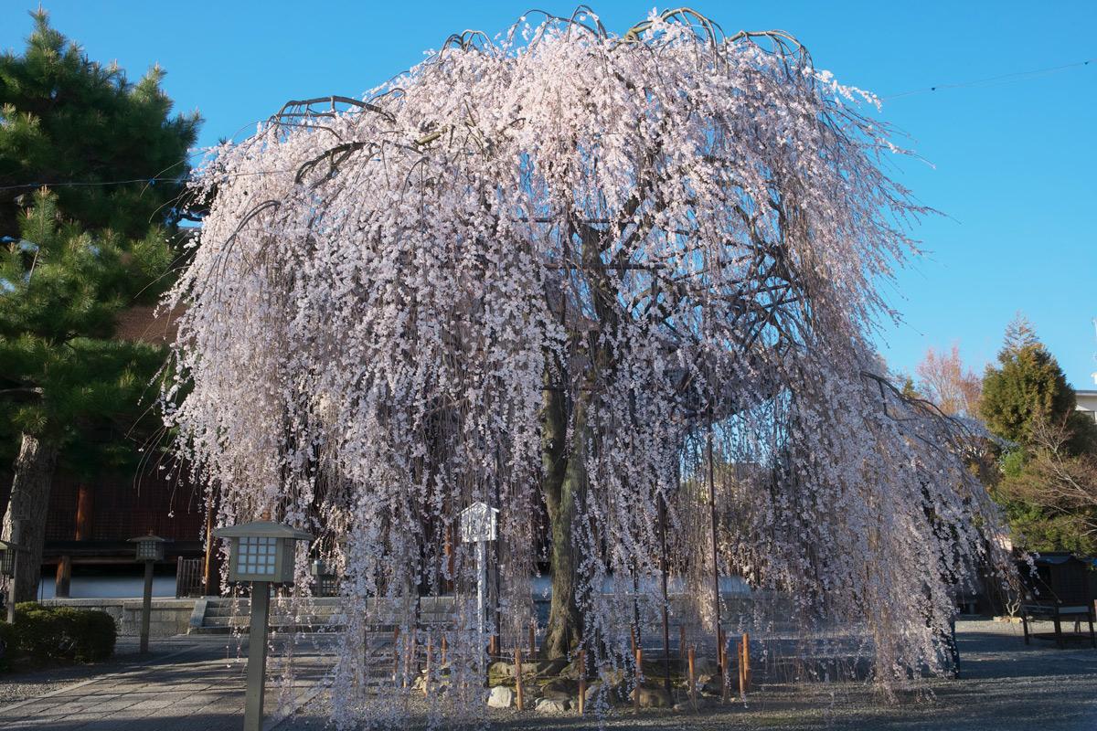 桜 2011 京都 <千本釈迦堂>_f0021869_6134070.jpg