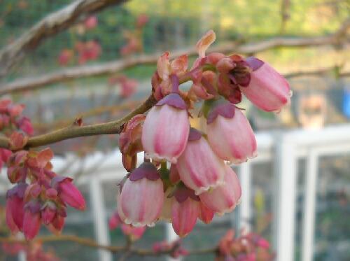 ピンクの花のブルーベリー@サザンハイブッシュ系_f0018078_1918218.jpg