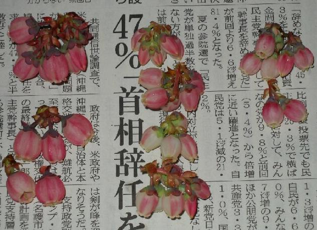 ピンクの花のブルーベリー@サザンハイブッシュ系_f0018078_19205365.jpg