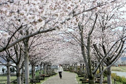 おの桜つづみ回廊、桜オーナーが作る並木道 (兵庫)_b0067283_19184052.jpg