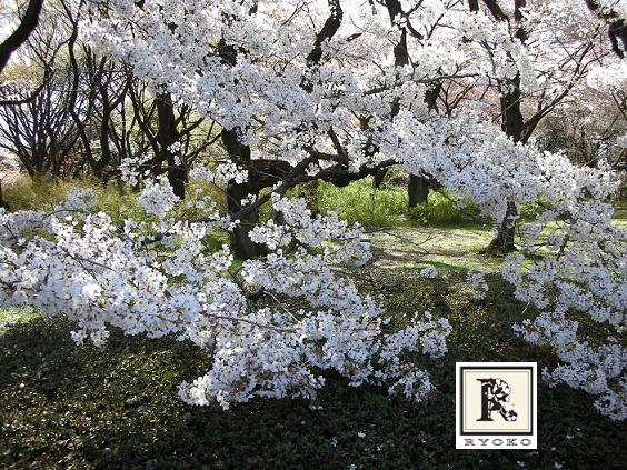 満開の桜_c0128489_11492141.jpg