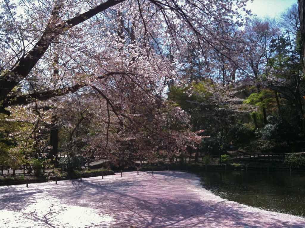 水面の桜_b0060102_1421733.jpg