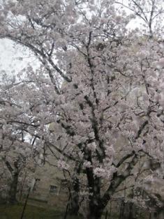お花見ドライブ<アクティブライフ豊中>_c0107602_9141724.jpg