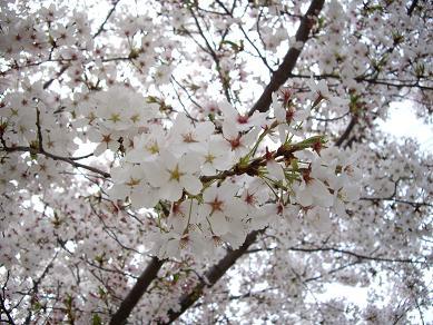 毎年恒例ひとり花見。_f0042307_1646791.jpg