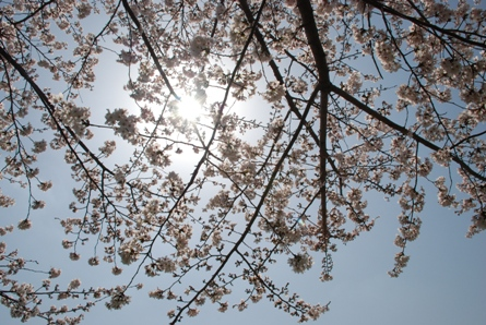桜前線in京都_f0221707_914222.jpg