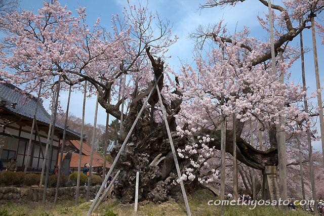 「山高 神代桜」  満開です!!_b0179231_0231198.jpg