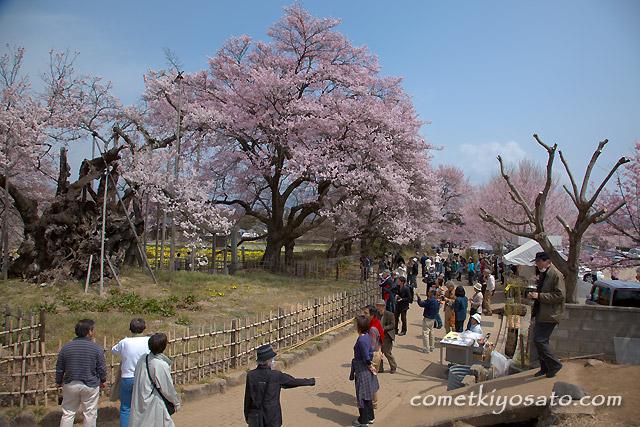 「山高 神代桜」  満開です!!_b0179231_0231851.jpg