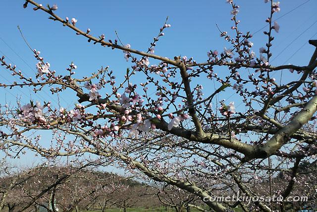 新府の桃の花 開花です_b0179231_1917555.jpg