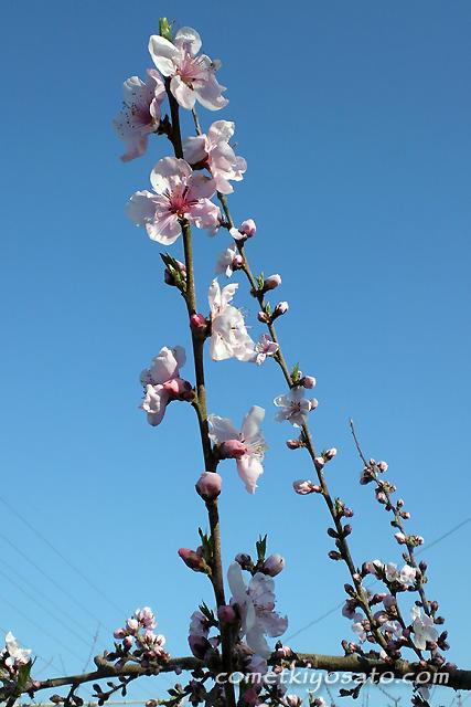 新府の桃の花 開花です_b0179231_19184953.jpg